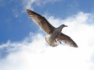 504960_seagull